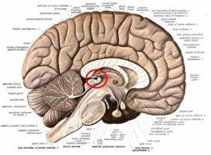 Hjerne koglekirtel